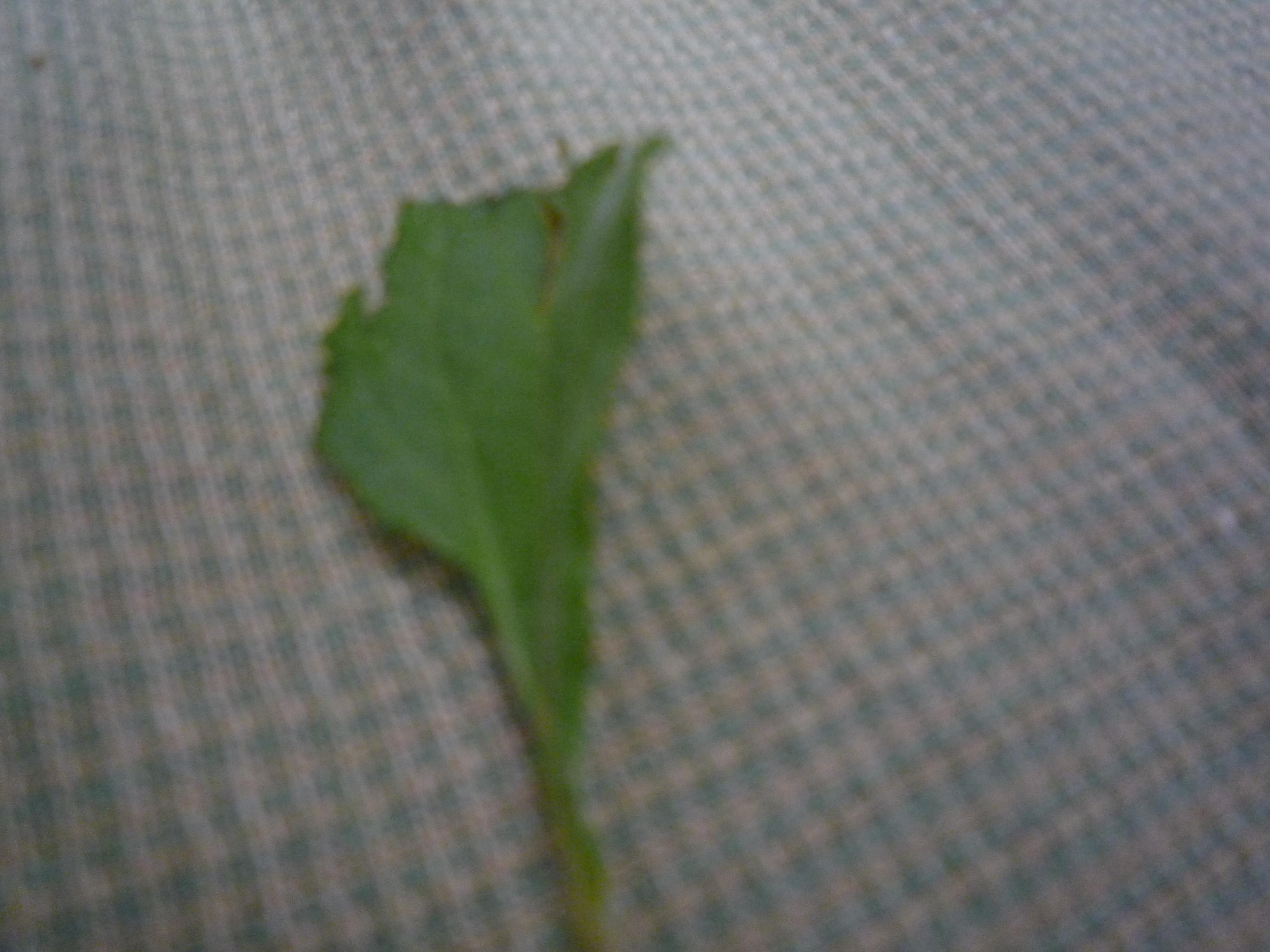甘い甘~い、ステビアの葉