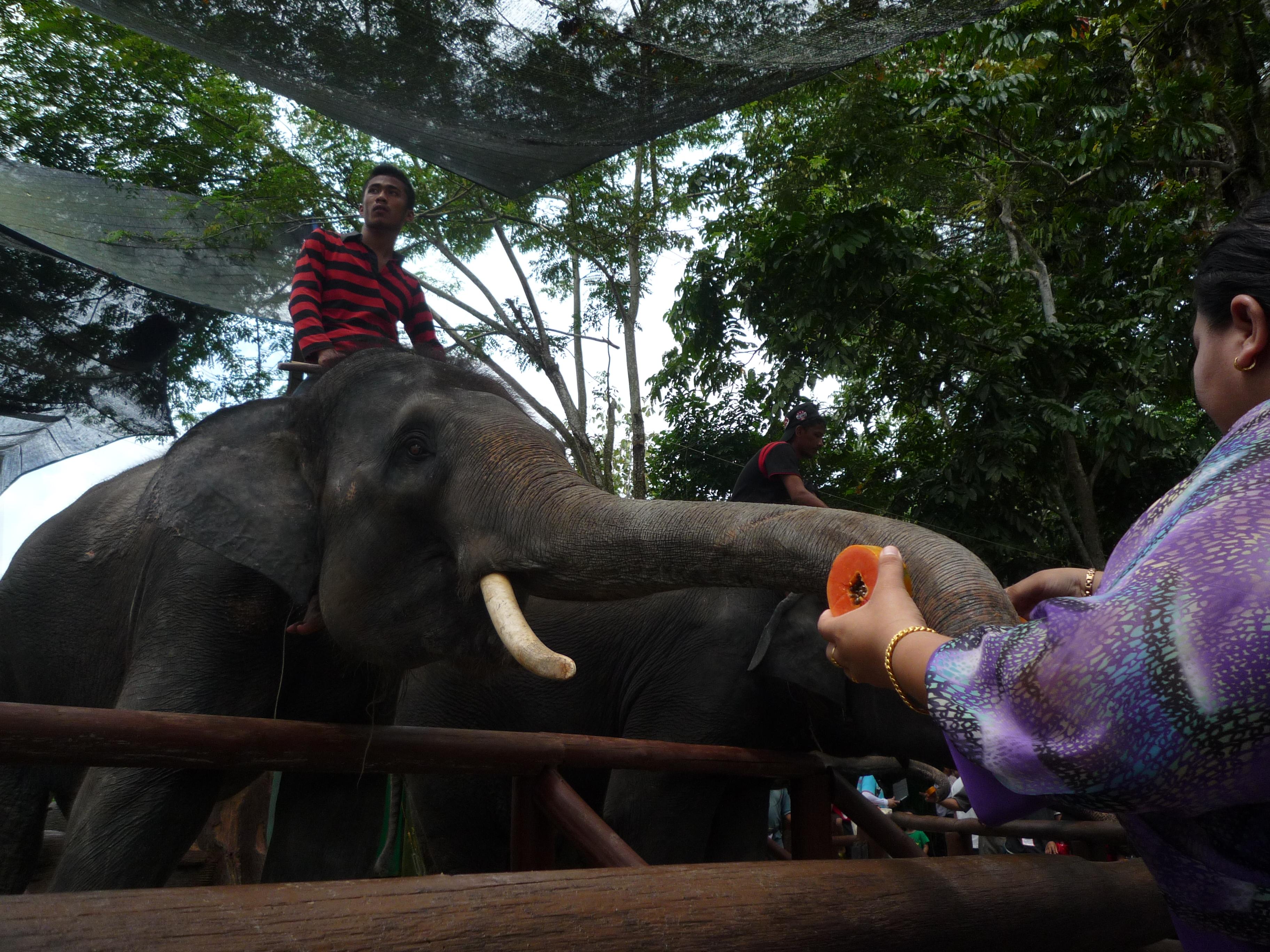 マレーシア初日はゾウ  行き方も紹介